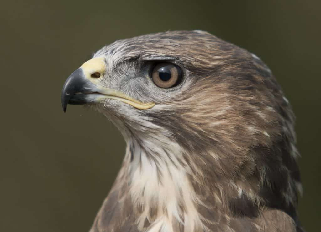 Busby - Common Buzzard