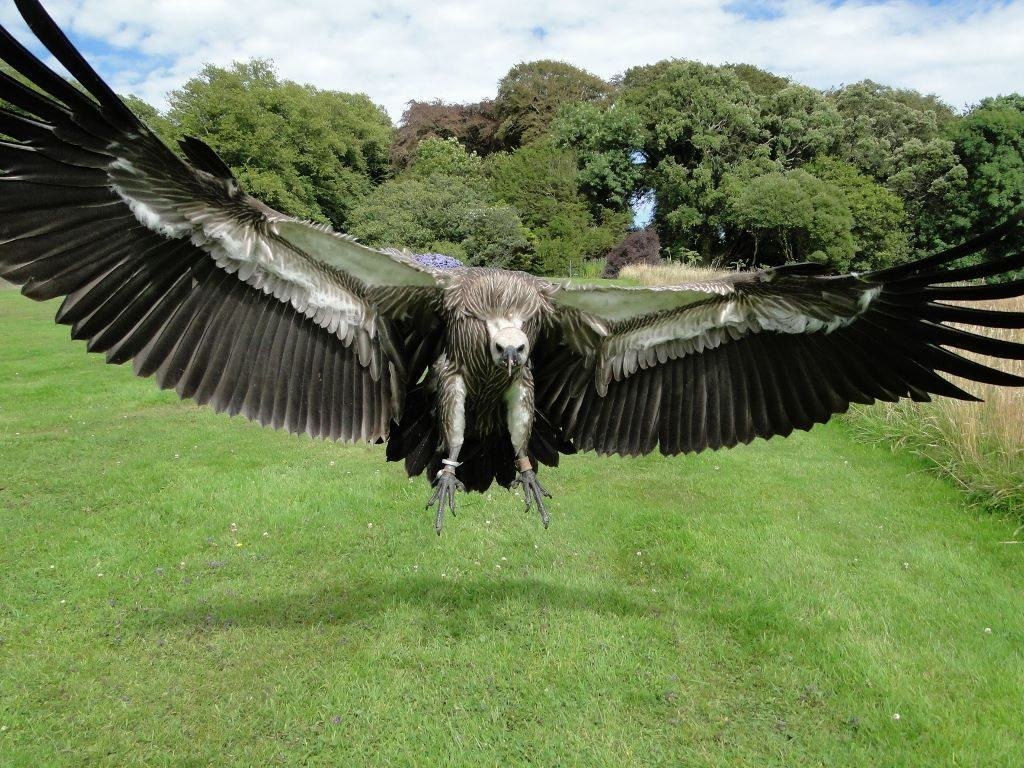Khaleesi - African White-backed Vulture