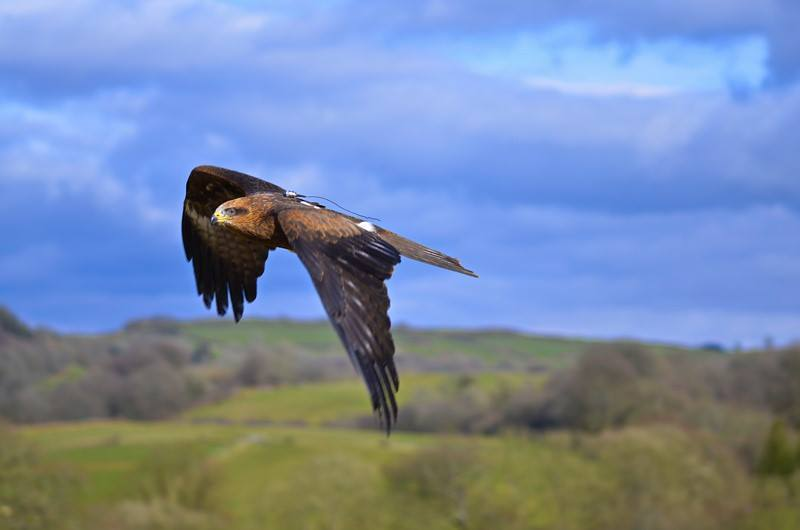 Bandit - Black Kite