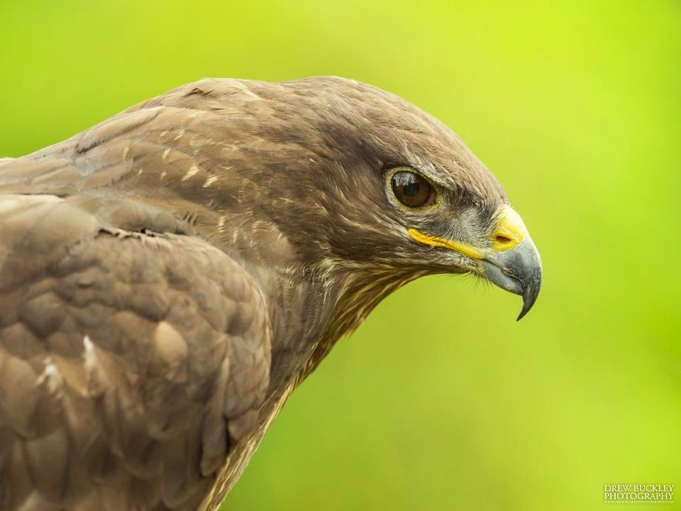 Flint - Common Buzzard