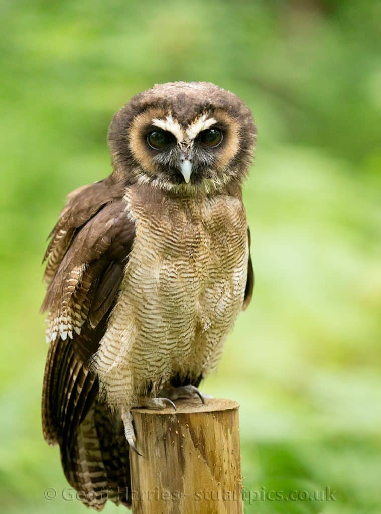 Wicket - Asian Brown Wood Owl