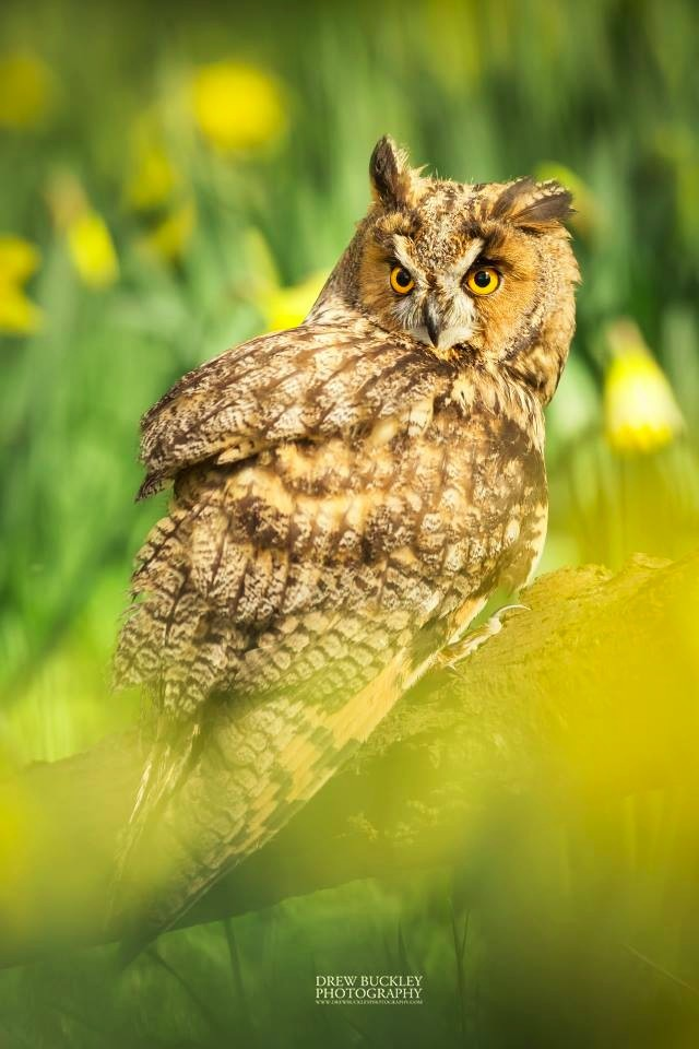 Hinge - Long-Eared Owl