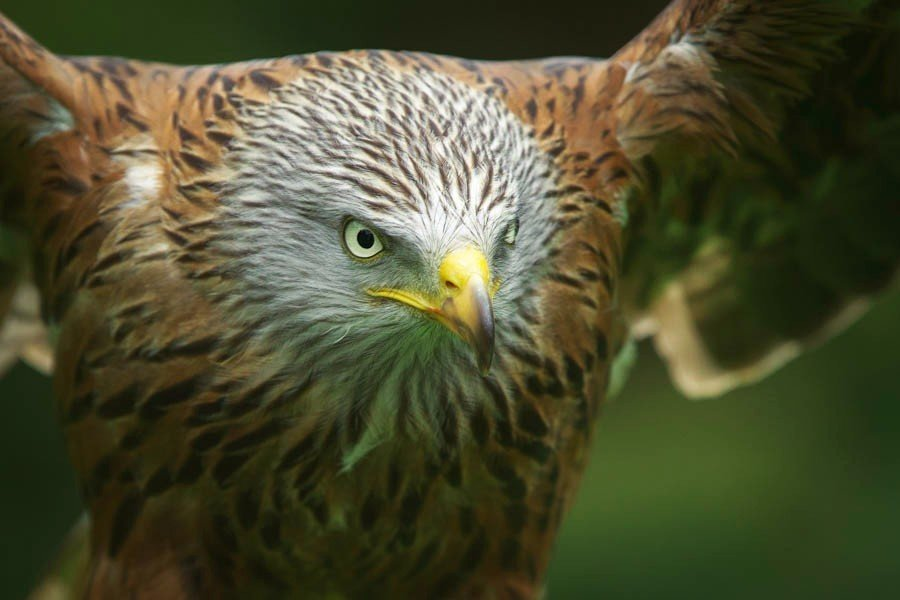 Scarlet - Red Kite