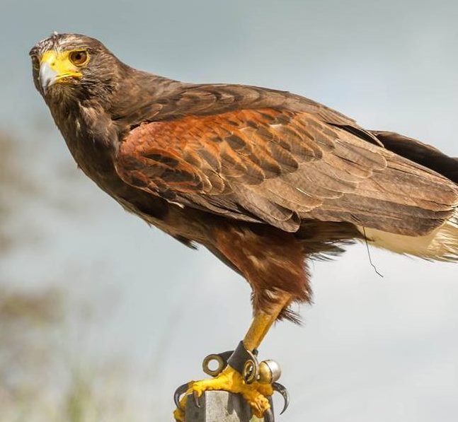 Zephyr - Harris Hawk