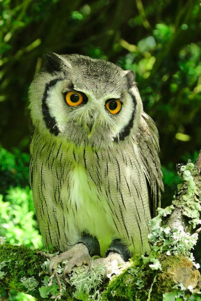 Frodo - White Faced Owl