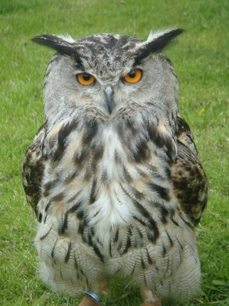 Popeye - European Eagle Owl